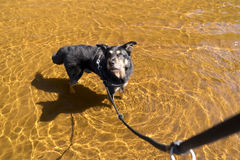 Dog in a lake Royalty Free Stock Images