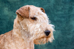 Dog Lakeland Terrier. Head shot of Lakeland Terrier royalty free stock photos