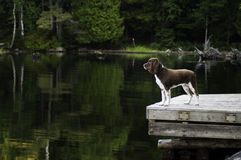 Dog on a lakeside dock Royalty Free Stock Image