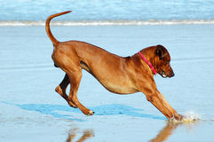 Dog landing. A beautiful active and healthy Rhodesian Ridgeback hound dog with happy expression in the face stopping and landing on his feet after a big jump in Royalty Free Stock Photo