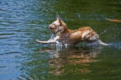 Dog Landing in Water. Yellow furred dog landing in the water at a dog park. A beautiful day for dogs to play in the river on a summer day Stock Photography