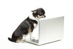 Dog with Laptop. Chihuahua dog sitting on laptop on white background Stock Photo