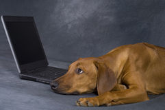 Dog with laptop. A beautiful young brown rhodesian ridgeback is using a computer. He is lying in front of the laptop and surfing in the www network is a kind of stock photos
