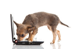 Dog and laptop chihuahua isolated on white background. Chihuahua isolated on white background pet computer high technology surfing domestic animal royalty free stock photos