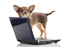 Dog laptop isolated on white background. Chihuahua isolated on white background pet and high modern technology internet concept chat pc computer domestic animals royalty free stock image