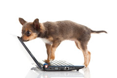 Dog with laptop isolated on white background. Chihuahua isolated on white background pet high technology internet communication outcut image for design object stock images