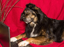 Dog with a Laptop Stock Photo
