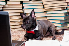 Dog with laptop. Dog wearing bow tie looking at laptop sitting in front of pile of books stock photos