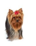 Dog with large beautiful eyes Stock Photography