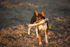 Dog with large bone in yard stock image