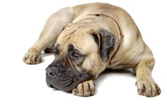Dog Is Large Breed. Photography Studio On White Stock Photos