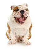 Dog laughing Stock Photography