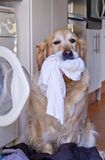 Dog with laundry Royalty Free Stock Photos