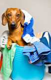 Dog in the laundry basket Stock Images