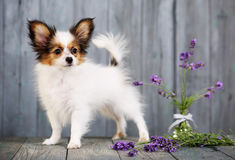 Dog with lavender Royalty Free Stock Photography