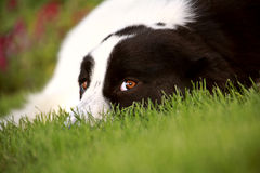 Dog on lawn. Eying the photographer Royalty Free Stock Photo