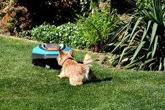 Dog and lawn mover Stock Photos