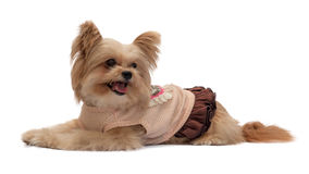 Dog Lay Down in Pink Dress Royalty Free Stock Image