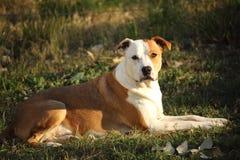Dog laying. Alert, on grass stock photos