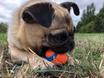 Dog laying with a ball on a field funny stock photography