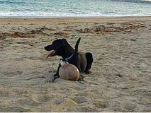 Dog  laying on beach with football. Black dog laying on beach with sandy football. White paws, white front, panting Royalty Free Stock Photography
