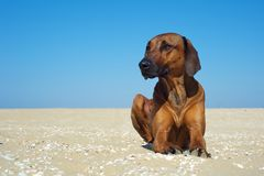 Dog laying on the beach Royalty Free Stock Image