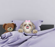 Dog laying in bed with toy. Cute dog laying in bed with toy Royalty Free Stock Image
