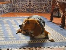 Dog laying carpet stock photography