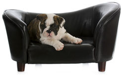 Dog laying on couch Royalty Free Stock Images