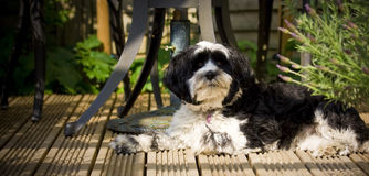 Dog laying on decking in the sun Royalty Free Stock Images