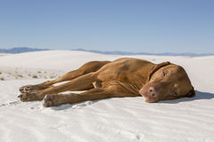 Dog laying in desert sand Stock Image