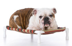 Dog laying on dog bed Stock Images