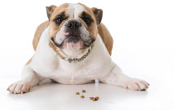 Dog laying with dog treats. Bulldog laying down with dog kibble or treats in front stock photo