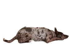 Dog laying down Royalty Free Stock Image