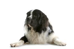 Dog Laying Down. Black and white furry dog lays calmly facing forward with paws outstretched in front Royalty Free Stock Image