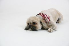 Dog Laying Down. Shi tzu breed of dog laying down on a white background Stock Images