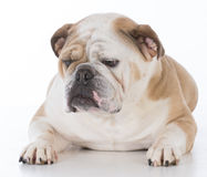 Dog laying down Stock Photography