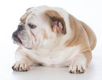 Dog laying down Royalty Free Stock Photo