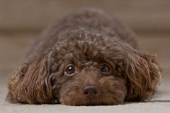 Brown Dog laying down 4 Royalty Free Stock Images