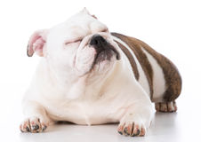 Dog laying down Royalty Free Stock Photography