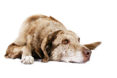 Dog laying down Stock Photo