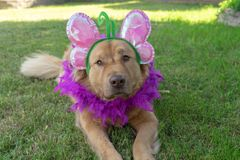 Dog wearing a butterfly headband with boa