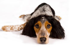Dog laying down looking at you. Tired dog laying down is looking at the spectator Royalty Free Stock Photos