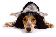 Dog laying down looking at you. Tired dog laying down is looking at the spectator Stock Image