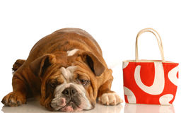 Dog laying down with purse Stock Photography