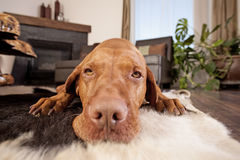 Dog laying in family room. Calm golden color dog  laying on family room floor looking into the camera Stock Photo