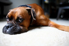 Dog laying on floor. A brown dog laying on the floor Stock Photography