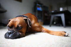 Dog laying on floor Royalty Free Stock Photo