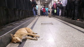 Dog laying on the floor of a crowded train station in Mumbai. stock video