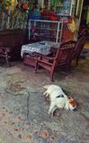 Dog laying in front of Vietnamese store. Dog laying on a concrete floor sleeping in front of a store entrance in Hoi An, Vietnam Stock Photography